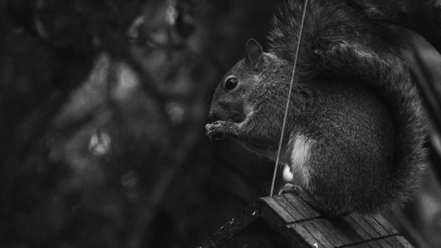 Squirrel in black & white.